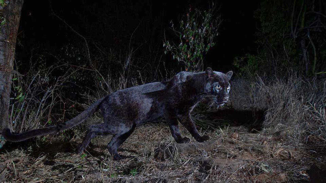 Leopardo negro en Kenia.