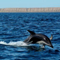 Los delfines en Puerto Madryn son la estrella del verano de la misma manera que las ballenas lo son en el invierno.