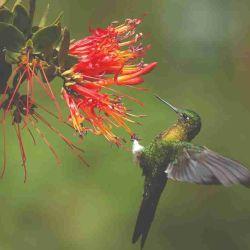 Los colibríes aparecen en todas sus variedades en las casas que saben tentarlos con sus bebederos.