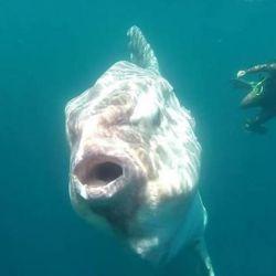 El encuentro tuvo lugar en las aguas de Bahía Inglesa, Chile. El espécimen pesaba alrededor de una tonelada y medía 3 metros.