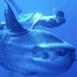 El pez luna se destaca por su aspecto, ya que parece una cabeza con aletas.