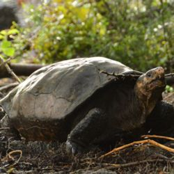 La tortuga gigante de Fernandina se avistó luego de cien años sin verla en las islas Galápagos.