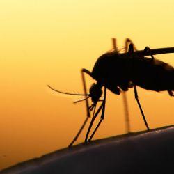 Parece que los mosquitos pueden aprender a evitarnos si intentamos aplastarlos.
