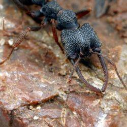 La hormiga drácula tiene el récord del movimiento más rápido de la naturaleza: 320 km/h.D