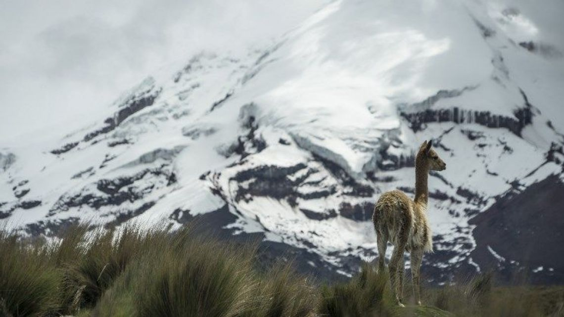 A vicuna roams at the foothill of the Chimborazo volcano, one of the mountains losing glacier coverage in Ecuador mainly due to the deforestation of the moorlands and burning of fossil fuels.