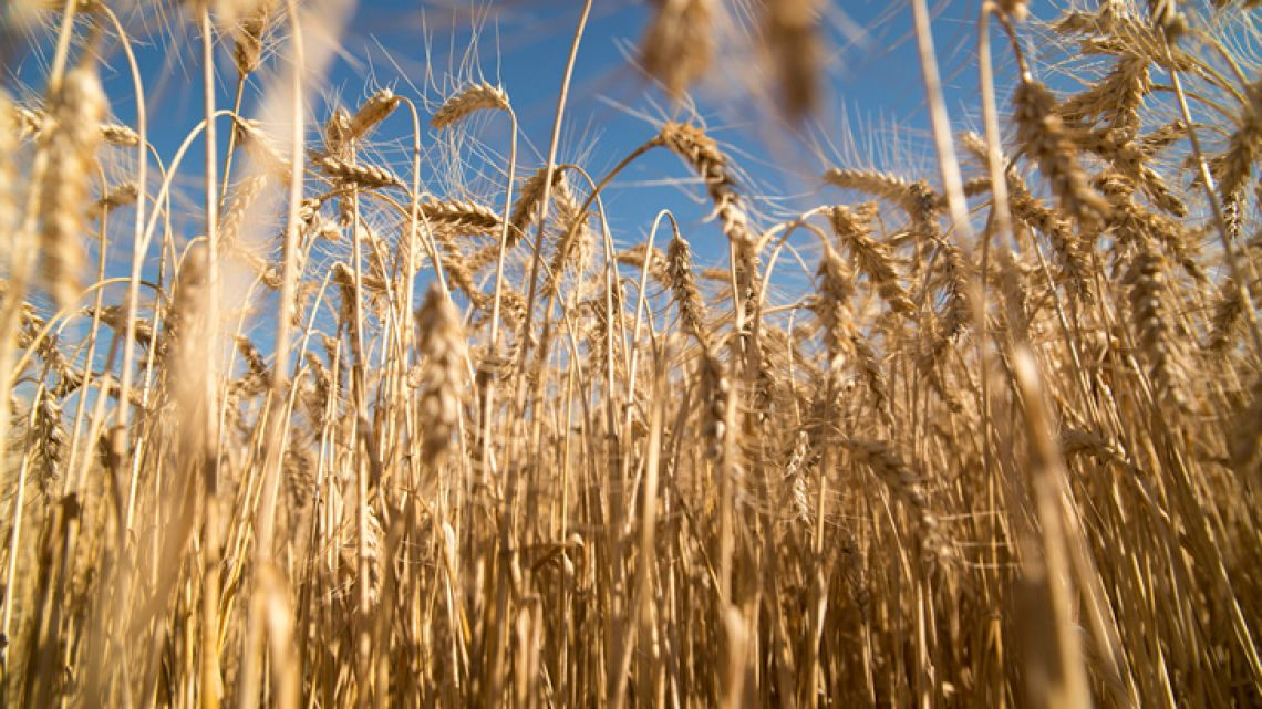 Local farmers are concerned about the outlook for wheat.