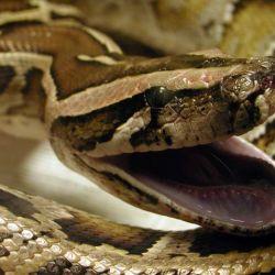 Las serpientes pitón no tienen depredadores naturales en Florida.
