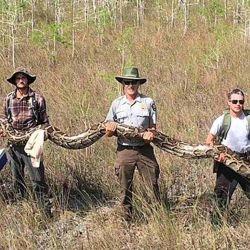 El espécimen, de la familia pitón, medía 5,2 metros de largo y pesaba alrededor de 63,5 kg.