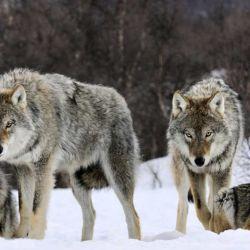 Diferentes investigaciones sostienen que el perro se separó de una especie de lobo actualmente extinto, entre unos 15.000 y 40.000 años atrás.