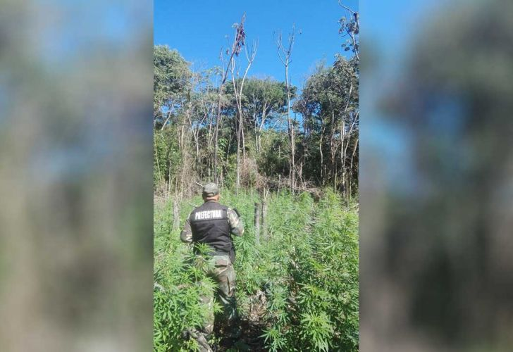 bosque de marihuana 04122019