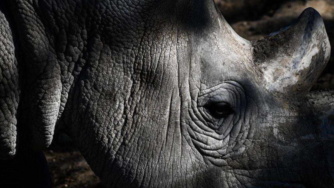 A picture shows a close-up of a rhinoceros in an enclosure at the Paris zoological park (Parc zoologique de Paris) in Paris on April 12, 2019.