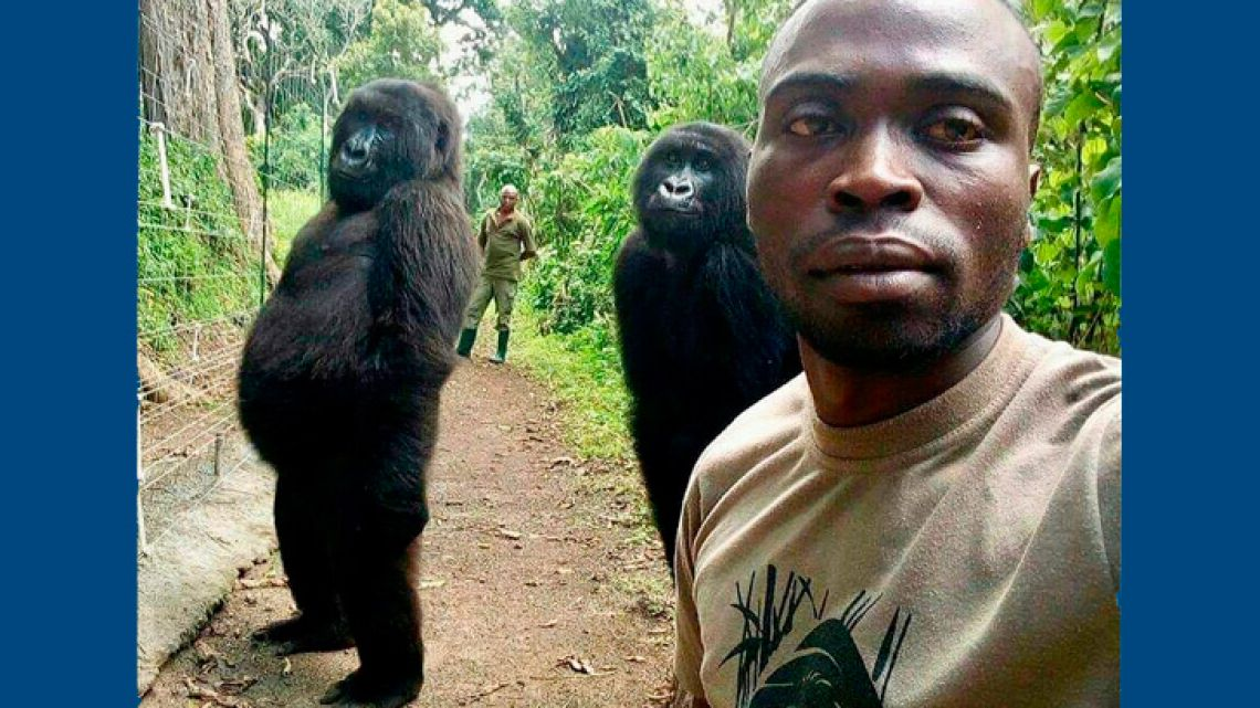 In this image taken on Thursday April 18, 2019, Mathieu Shamavu, a ranger and caretaker at the Senkwekwe Center for Orphaned Mountain Gorillas poses for a photo with female orphaned gorillas Ndakazi and Ndeze at the the Senkwekwe Center for Orphaned Mountain Gorillas in Virunga National Park, eastern Congo. Shamavu has described to the Associated Press how he was checking his phone when he noticed two female orphaned gorillas, Ndakazi and Ndeze, mimicking his movements, so he took a picture with them.
