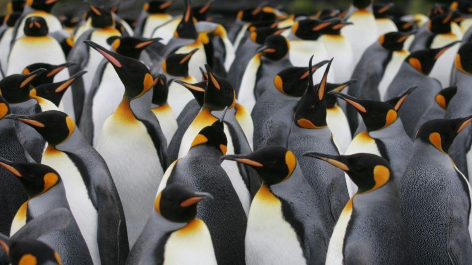 Pingüinos emperadores.