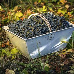 001-uva-vino