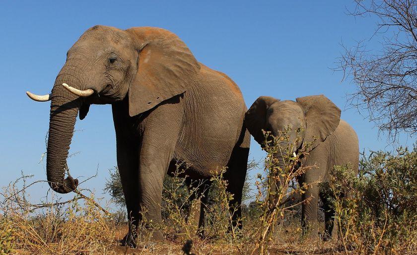 La polémica razón por la que Botsuana ahora permite cazar elefantes