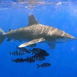 Los tiburones oceánicos de puntas blancas se mueven por aguas poco profundas y son conocidos por su agresividad.
