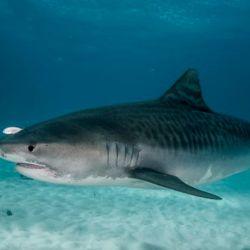 El tiburón tigre es el cuarto más grande del mundo, con unos cinco metros de largo en promedio.