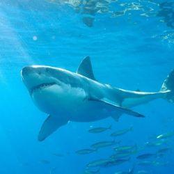 El tiburón blanco es considerado el más peligroso para el hombre debido a su gran tamaño y su naturaleza curiosa.