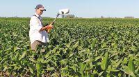 El maíz tardío ofrece más estabilidad de los rendimientos pero el temprano por lo general rinde mas.