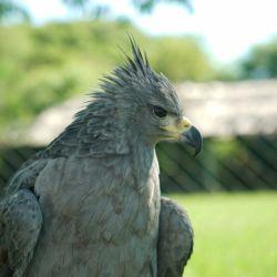 Un águila rescatada lucra en el Centro de Rescate de Fauna de la Ciudad de Buenos Aires por volver a su hábitat natural.