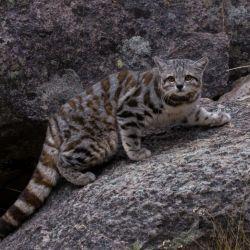 Se presume en vías de extinción al gato andino debido a las dificultades para alimentarse y lo cambiante de la geografía en la Puna.