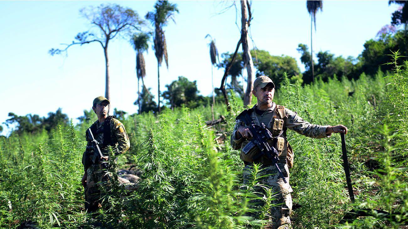 Plantaciones de marihuana en la ciudad de Pedro Juan Caballero en Paraguay