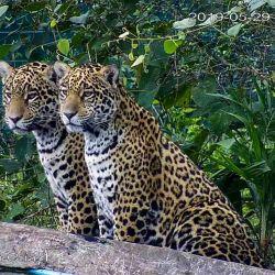 Actualmente, ambos felinos participan activamente en la caza de presas pequeñas y medianas como el carpincho.