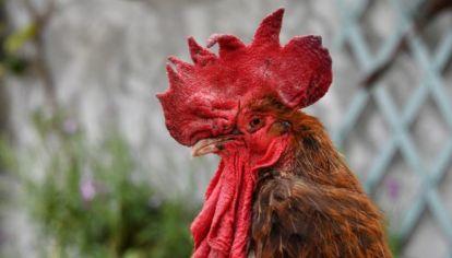 Archivo. Los gallos son, en ocasiones, motivos de conflicto.