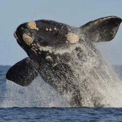 La experiencia de embarcarse permite ver a las ballenas en su hábitat natural y a escasos metros de distancia.