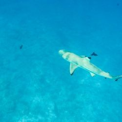 Un tiburón punta negra nada detrás de la línea de corales en Bora Bora.