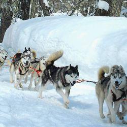 Su genética les pide correr varios kilómetros diarios y están adaptados a bajas temperaturas.