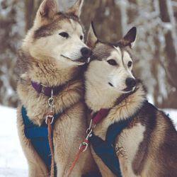 Pablo Germann tiene 90 perros descendientes del lobo ártico domesticado por esquimales chukchis en la estepa siberiana.