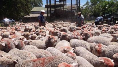 Aprueban 26 nuevos proyectos ovinos y ya son más de $30 millones los ejecutados en 2019.