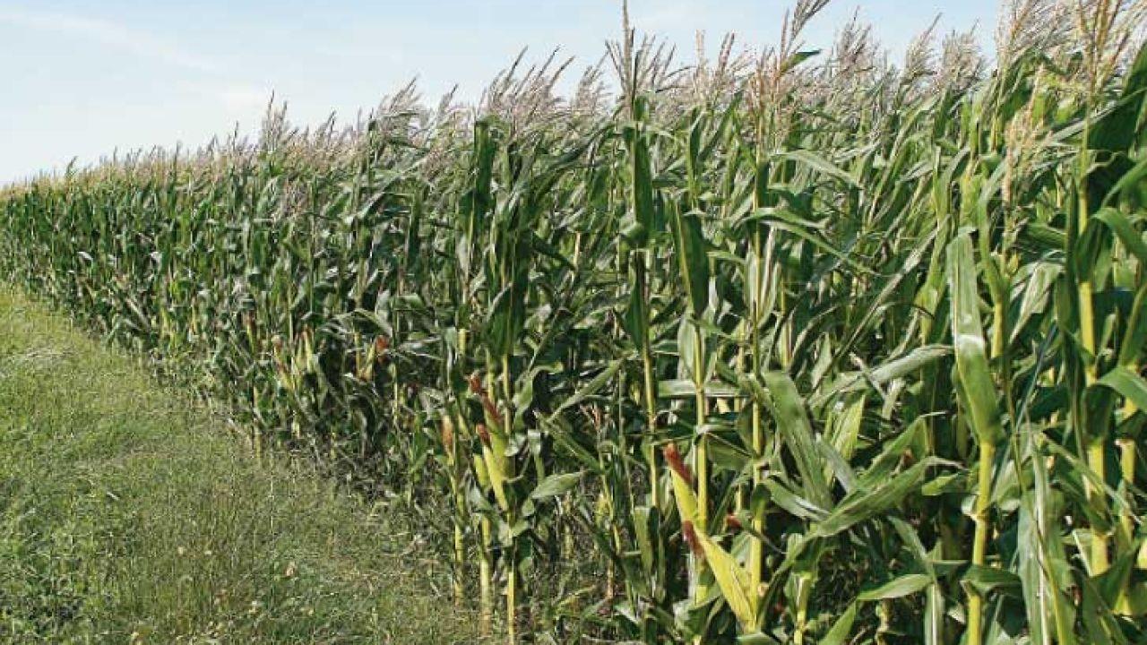 001-maiz