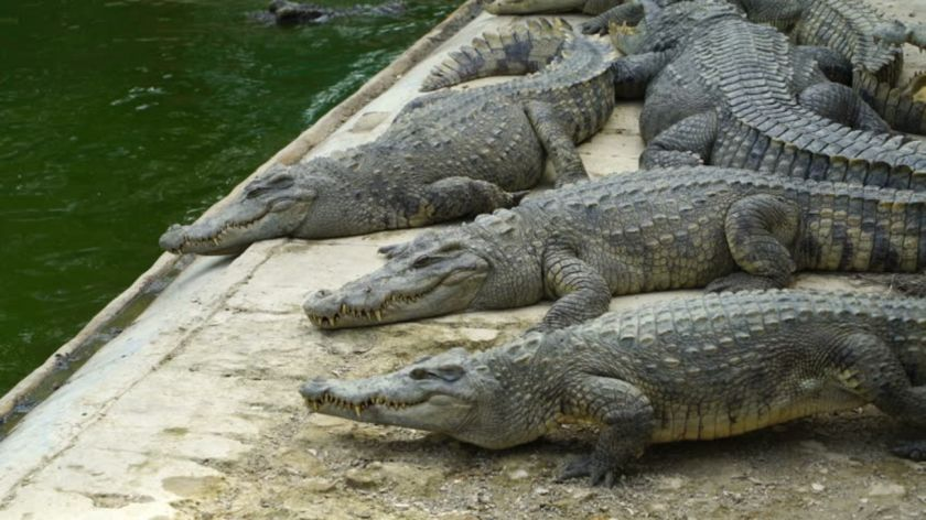Camboya: Niña fue devorada por cocodrilos de la granja de su padre