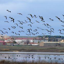 ¿Alguna vez se preguntó por qué las aves no chocan cuando vuelan en bandada?