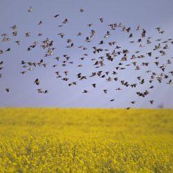 La aves utilizan la estela guía que dejan los ejemplares de adelante al volar para evitar chocarse.