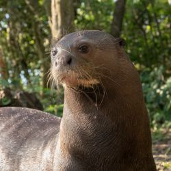 Esta es Alondra, la nutria procedente del zoológico de Budapest con la que se intentará repoblar Iberá