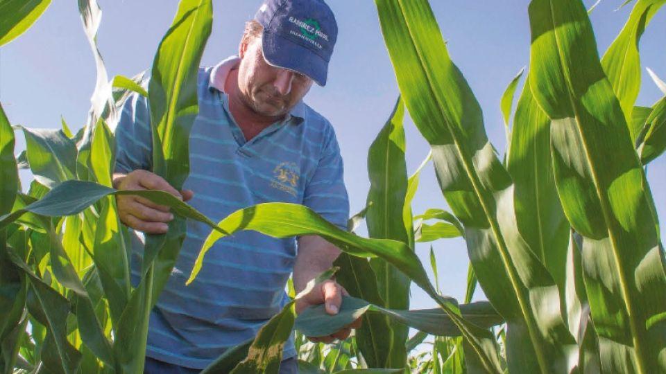 La producción de maíz en Misiones tiene todas las condiciones climáticas y de mercados para desarrollarse