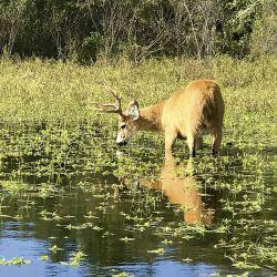 El ciervo de los pantanos es un animal que se encuentra muy presente en el humedal