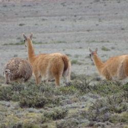 Guanacos y suris son algunos de los animales que se cruzan en el trekking que dos veces por año organiza estancia Don Carmelo de San Juan.