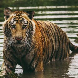 Según un censo local, en los últimos cuatro años la cantidad de tigres viviendo en estado salvaje en India se incrementó un 30%.
