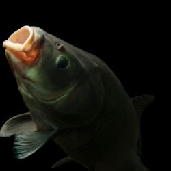 El búfalo de boca grande (bigmouth buffalo, en inglés; nombre científico Ictiobus cyprinellus) es uno de los peces de agua dulce más grandes y endémicos de Norteamérica.