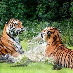 El censo se realizó en 2018 y arrojó que en la actualidad hay una población de 2.967 tigres salvajes, mientras que en 2014 la misma era de 2.226.