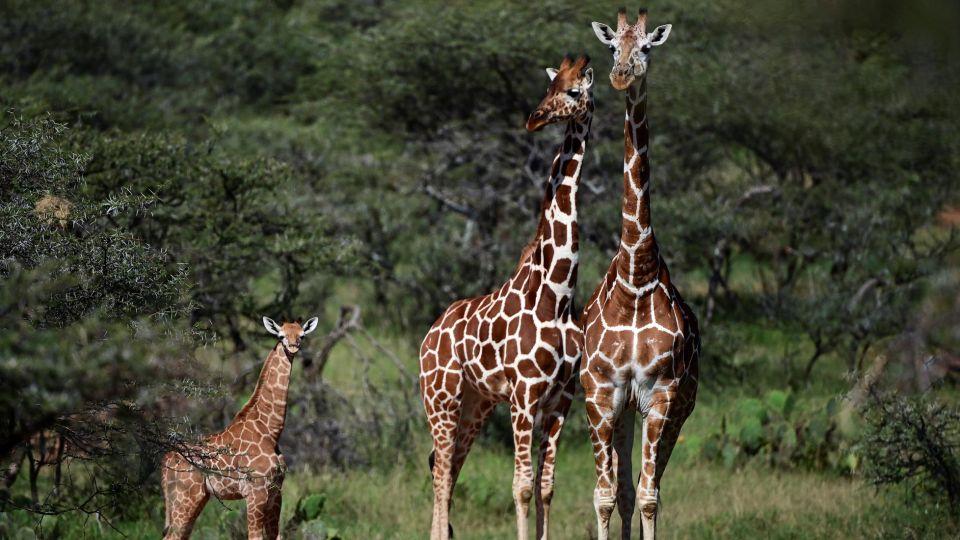 En riesgo de extinción la jirafa reticulada que habita el parque natural Masai Mara en Kenya, África Oriental.