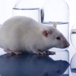 La ciencia determinó en un ensayo de laboratorio que los roedores pueden recordar una secuencia aprendida y reproducir mentalmente hechos pasados.