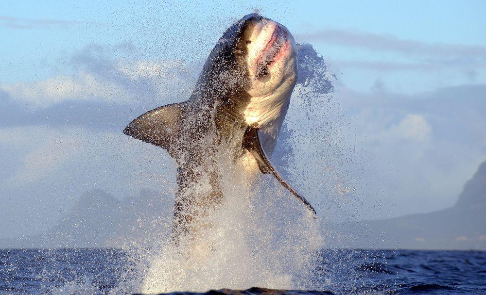 Los tiburones blancos desaparecen de Ciudad del Cabo sin razón