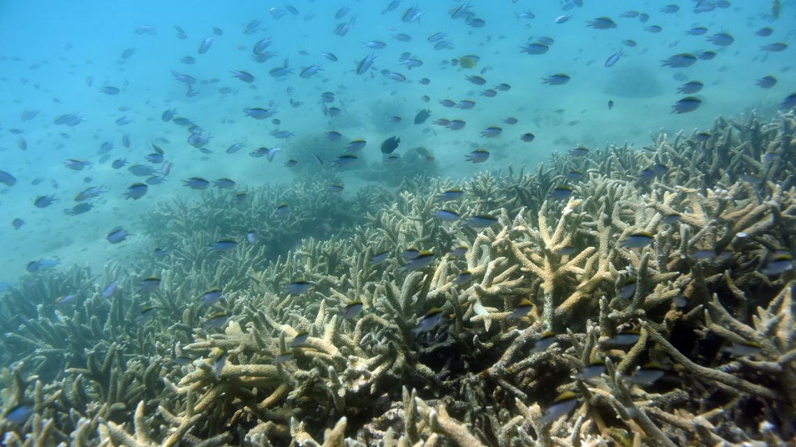 "In this November 25, 2016, photo, fish swim along the edges of a coral reef off Great Keppel Island in Australia. The government agency that manages Australia's Great Barrier Reef on Friday, Aug. 30, 2019, downgraded its outlook for the corals' condition from ""poor"" to ""very poor"" due to warming oceans."