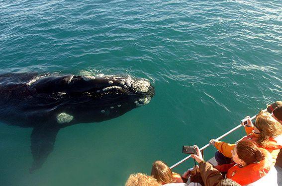 El avistaje de ballenas francas australes entra en temporada alta hasta mediados de diciembre.