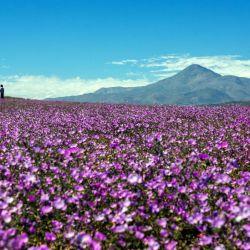 Abundantes mantos de flores de color violeta, amarillo o blanco cubren la superficie del lugar más árido del planeta: el desierto de Atacama en Chile.